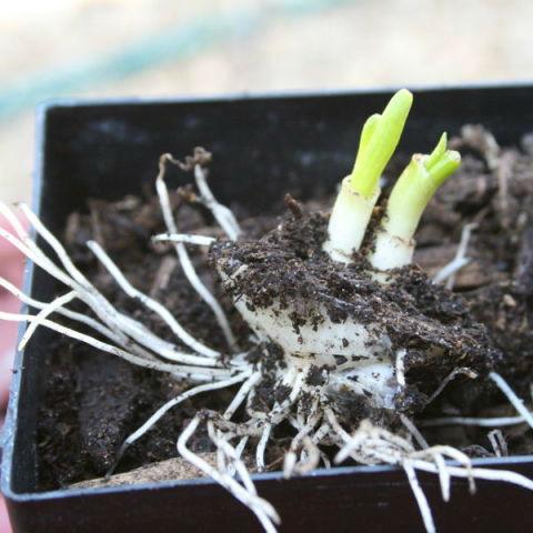 Ананас и ещё 6 продуктов, которые можно вырастить из очистков.