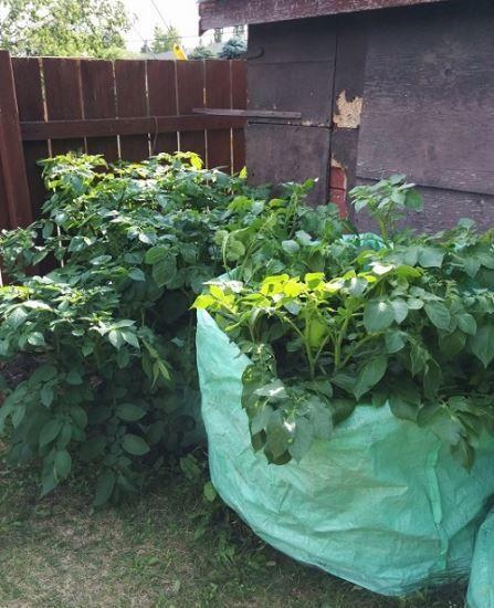 Картофель, выращиваемый вмешке