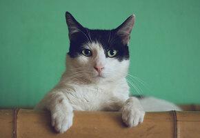Не подходи ко мне, я обиделась: 5 самых мстительных пород домашних кошек