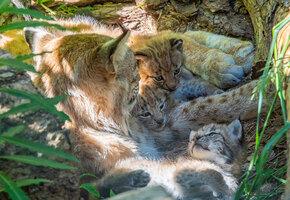 Тяжёлые будни многодетной матери: рысь не может уследить за котятами (видео)