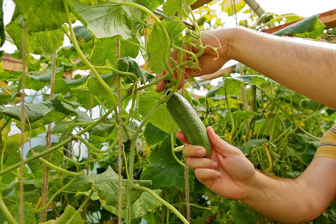 Прищипывание огурцов – это правильное формирование куста. После этого растение сможет направить все силы на плодоношение