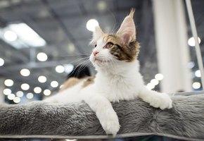 Мартовские коты: в Москве пройдет крупнейшая выставка усатых-полосатых