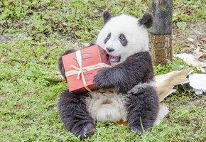«Это мальчик!» Почему пол маленьких панд определяют с помощью ДНК-теста
