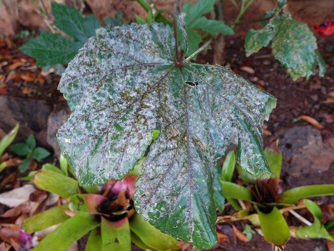 При такой стадии поражения используют химические препараты от мучнистой росы на смородине, больные листья удаляют