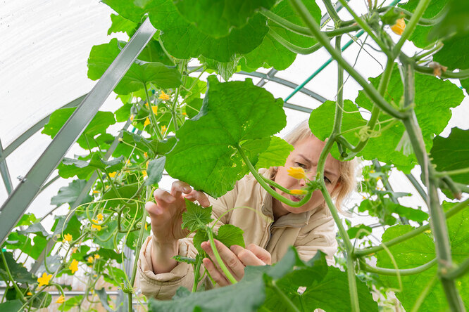 Как правильно прищипывать огурцы, чтобы увеличить урожайность