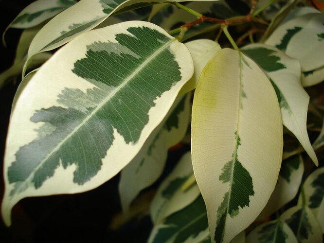 Химеризм у растений фото
