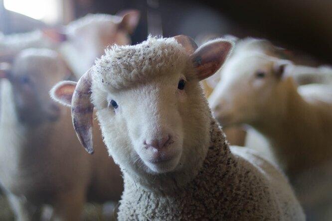 Отлично проводят время: овечка считает себя собакой идружит сколли