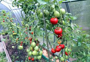 Когда помидорам пора в теплицу?