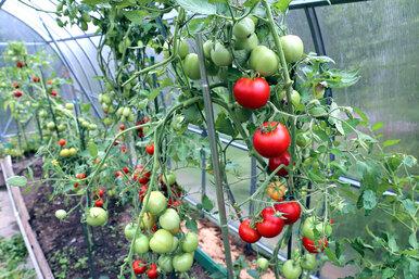 Когда помидорам пора втеплицу?