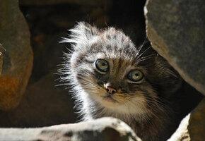 Самая скрытная дикая кошка не показывала своих котят, но их все же удалось снять