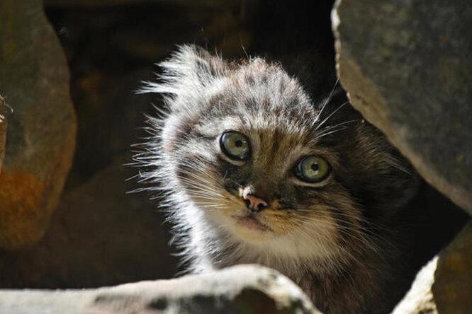 Самая скрытная дикая кошка непоказывала своих котят, но их все же удалось снять