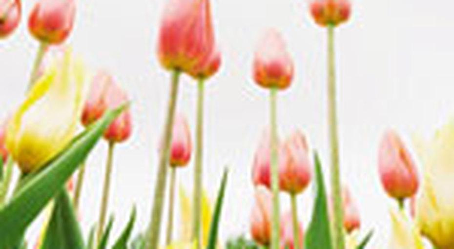 Как вырастить красивые тюльпаны?