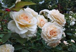Сажаем розы без занозы: хитрости выращивания капризных цветов
