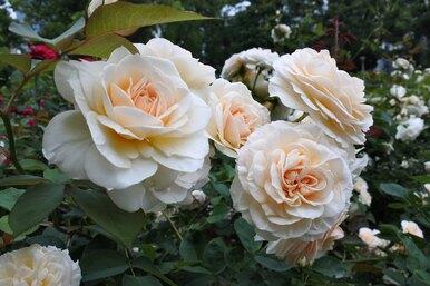 Сажаем розы беззанозы: хитрости выращивания капризных цветов