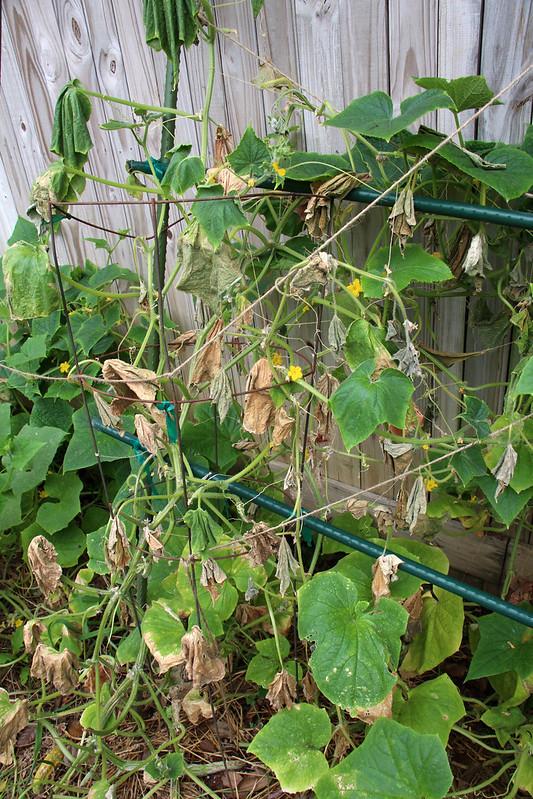 Желтеют края листьев у огурцов, затем листья отмирают: что делать