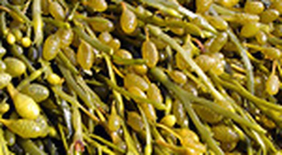 Морские водоросли заменят соль