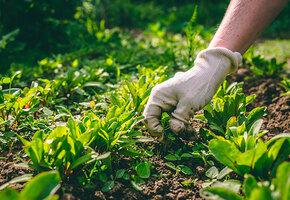 8 сорняков, которые полезнее овощей на грядках