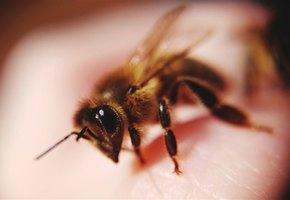 Женщина умерла, пытаясь лечить мышечную боль пчелиным ядом
