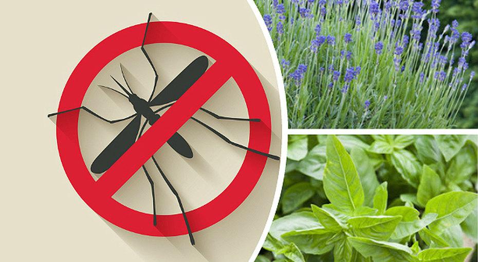 5 растений, которые избавят откомаров