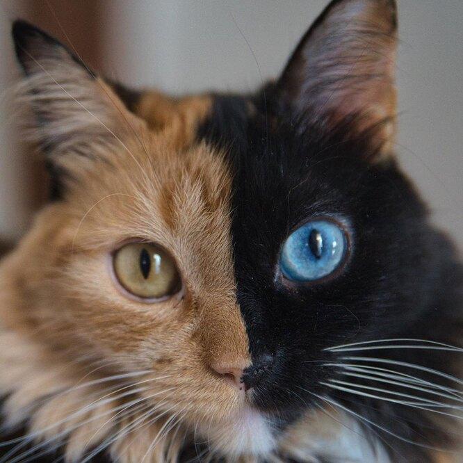 Химера, кошка из Аргентины фото