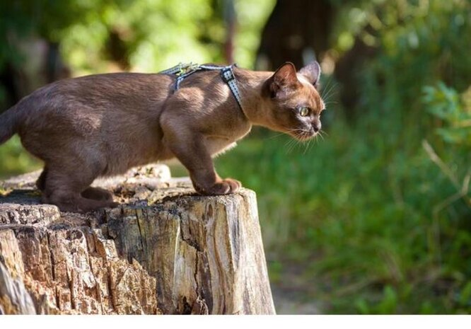 Правильная шлейка для кошки — шлейка Н-образной формы