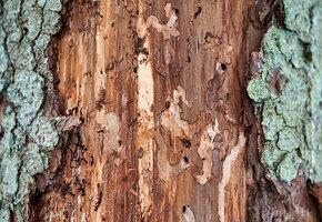 Враги деревянного дома: как бороться с короедом и жуком-точильщиком?
