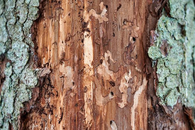 Враги деревянного дома: как бороться скороедом ижуком-точильщиком?