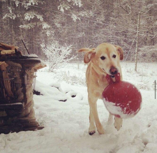 лабрадор, собака