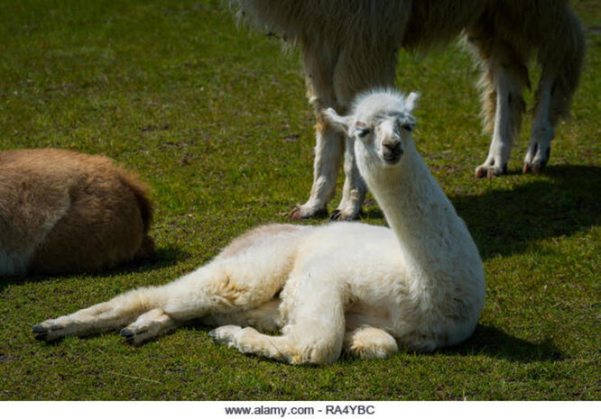 лама спит
