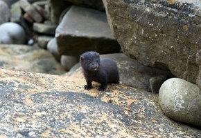 Крохотного малыша норки спасли на острове Юности. Вот каким он стал через год