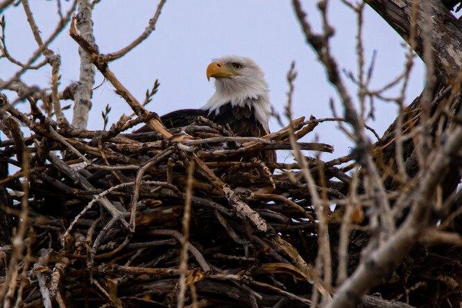 Мамы невероятные: орлица отказалась покидать гнездо даже, когда ее засыпал снег