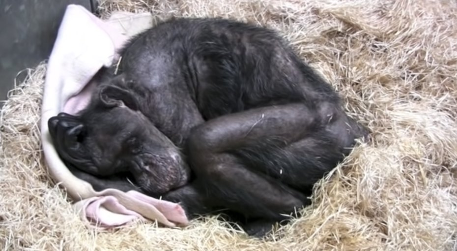 Умирающая шимпанзе «по-человечески» простилась сбиологом, которого знала более 40 лет