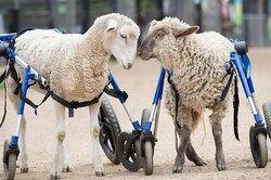 Овечка немогла ходить из-за болезни, но забота помогла ей сделать первые шаги
