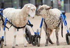 Овечка не могла ходить из-за болезни, но забота помогла ей сделать первые шаги