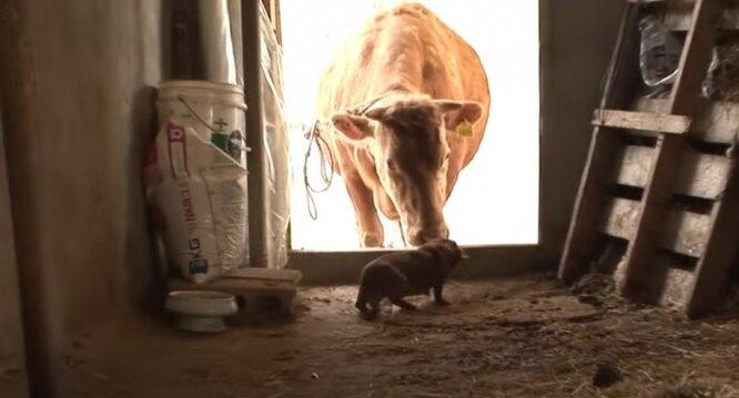 щенок и корова