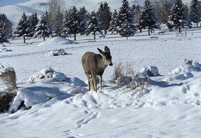 Лосенка накрыла лавина, но ему повезло: мужчина заметил под снегом нос
