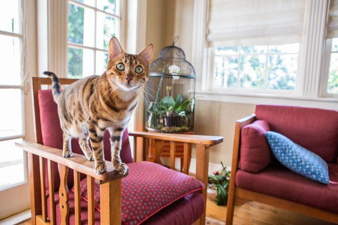 Бенгалльская кошка