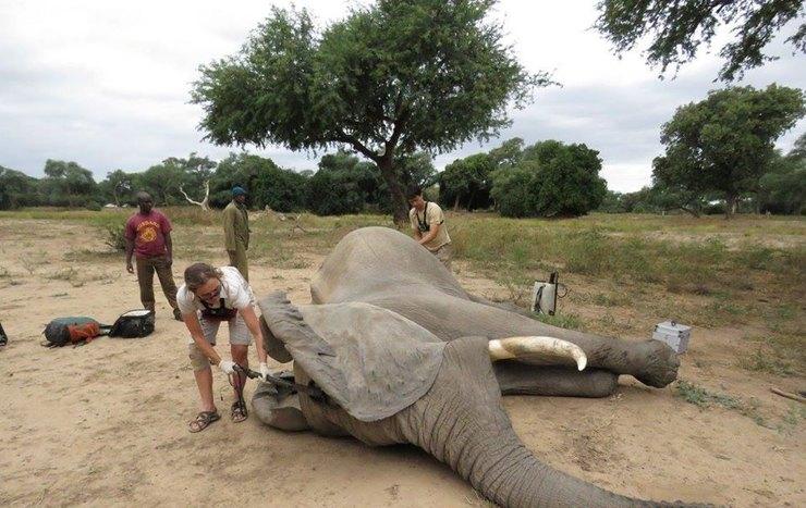 слону проводят операцию