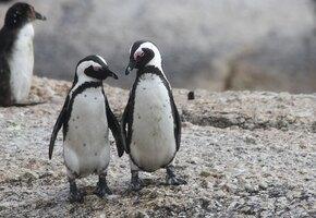 Пара пингвинов-геев украла у пары пингвиних-лесбиянок яйцо, чтобы высидеть