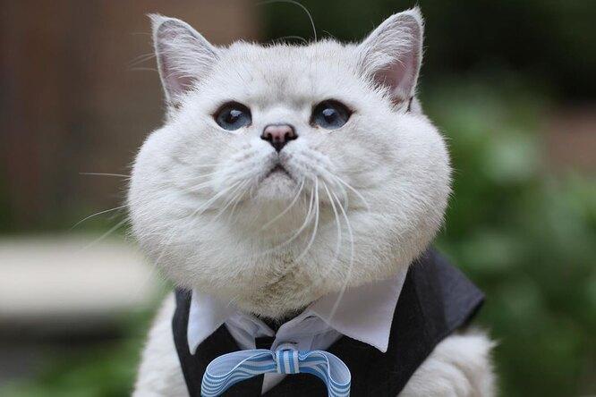 Вот это щеки! Британский кот Аполлон проснулся звездой