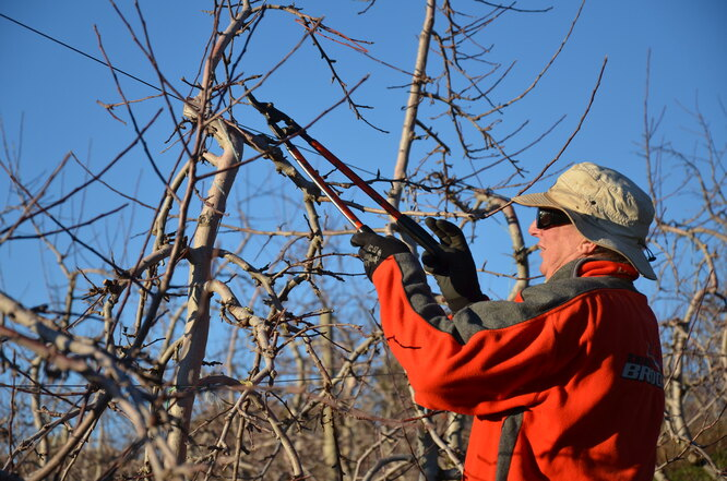 Обрезка яблонь осенью: инструменты должны быть острыми и чистыми