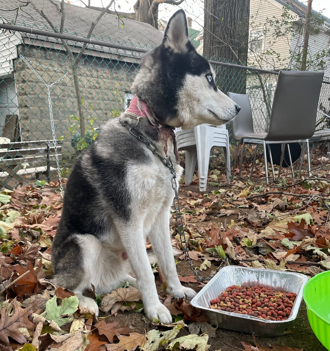 хаски, брошенная собака