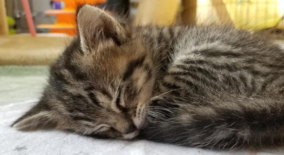 Мамино чудо: пятый котенок родился через4 дня после погибших братьев исестер