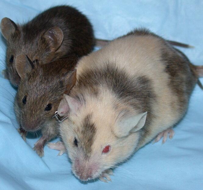 Мыши с химеризмом фото
