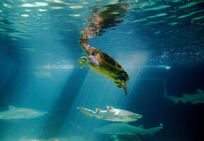 Невероятно! Рыбаки отбили черепаху у тигровой акулы (видео)