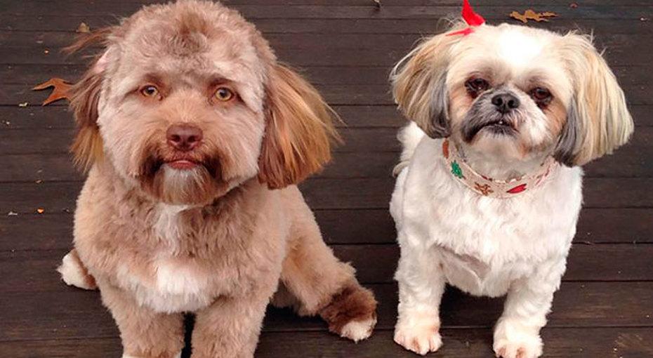 Оказалось, необычный пёс «с человеческим лицом» очень похож нанекоторых звёзд