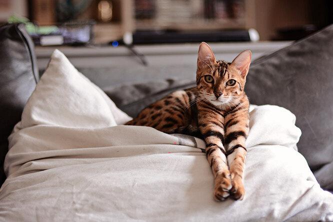 А поговорить? Бенгальская кошка — порода, которая недаст вам соскучиться