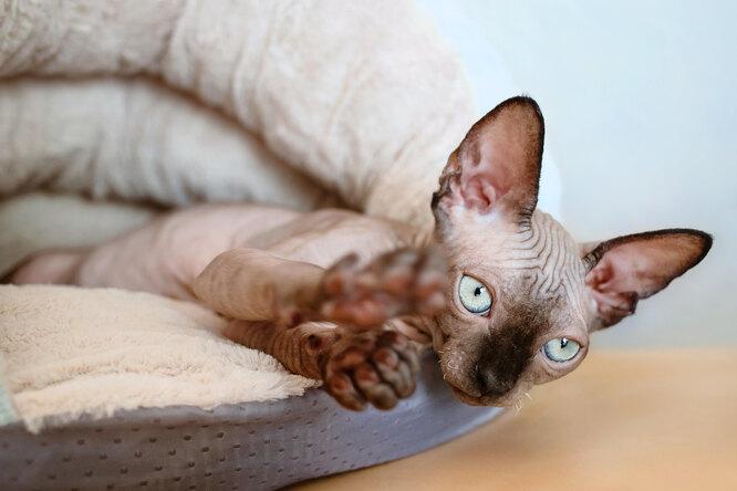 Женщина купила лысого котенка — иее ждал сюрприз: вот каким он стал черезгод