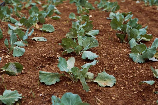 Что посадить вогороде виюне, чтобы успеть собрать урожай осенью