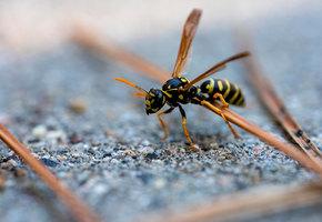 Пчела, оса, шмель или шершень: чей укус больнее и опаснее?